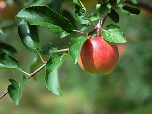 fruit_apple_on_tree